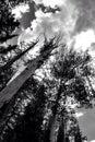 Hacia el cielo álamos tembloses Imagen de archivo libre de regalías