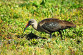 Hadada Ibis bird Royalty Free Stock Photos