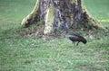 Hadada Ibis Near Lake Naivasha...
