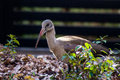 Hadeda or ibis bird a in a garden Stock Images