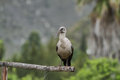Hadeda ibis in montagu south africa Royalty Free Stock Image