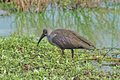 Hadida Ibis bird in Africa Royalty Free Stock Photo