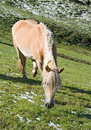 Haflinger horse Royalty Free Stock Photo
