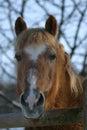Haflinger horse Royalty Free Stock Photography