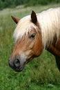 Haflinger horse Stock Photos