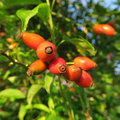 Hagebutte,hagebutte, Rose hip, the healthy fruits of the rose, likes to drink as a tea a versatile medicinal plant Royalty Free Stock Photo