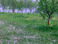 Hail storm in the plum orchard Royalty Free Stock Photo