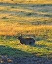 North Texas Eastern Cottontail Rabbit Sylvilagus floridanus Royalty Free Stock Photo