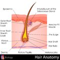 Hair anatomy easy to edit illustration of human Stock Photography