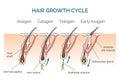 Hair growth cycle