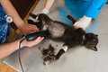 Haircutting of cat for operation in veterinary station Royalty Free Stock Photography