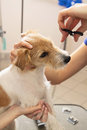 Hairdresser mows jack russell terrier fur on the head with a scissors Stock Images