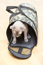 Hairless Cat in Carrier Royalty Free Stock Photography