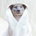 Hairless Cat in Towel Stock Images