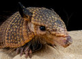 Hairy armadillo Royalty Free Stock Photo