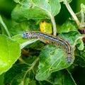 Hairy blue caterpillar of malacosoma neustria sits on an apple tree sheet Royalty Free Stock Photo