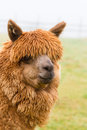 A hairy brown Alpaca Royalty Free Stock Image