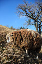 Hairy brown sheep under blue sky Royalty Free Stock Photo