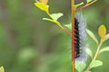 Hairy butterfly worm is staying on the tree shoot Stock Images