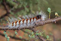 Hairy caterpillar Stock Photography