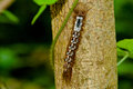 Hairy Caterpillar Climbing Stock Images