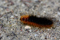 Hairy caterpillar close up of Stock Images