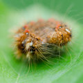 Hairy caterpillar on a leaf green Stock Photo