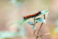 Hairy caterpillar red in tropical rainforest Royalty Free Stock Images