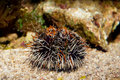 Hairy Collector Urchin Royalty Free Stock Photography