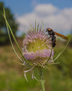 Hairy Flower Wasp on Thistle plant flower. Royalty Free Stock Photo