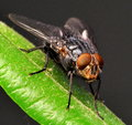 A hairy fly on leaf in macro Royalty Free Stock Photo