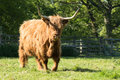 Hairy highland cow walking in grass Royalty Free Stock Photo