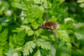 Hairy little brown bug on green plant Royalty Free Stock Photo