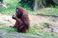 Hairy orang utan in a zoo Royalty Free Stock Photos