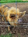 Hairy Pig Behind A Fence Closeup