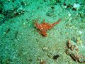 Hairy scorpionfish photo took underwater off manado island indonesia Stock Image