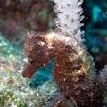 Hairy Sea Horse Royalty Free Stock Photo
