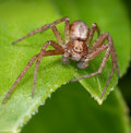 Hairy spider on green leaf Royalty Free Stock Photo