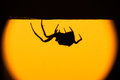 Hairy spider in silhouette hanging upside down Royalty Free Stock Photo