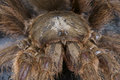 Hairy tarantula monocentropus lambertoni impressive spider species Stock Images