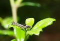 Hairy woem order lepidoptera worms eating young green leaves on a tree in summer time Stock Photo
