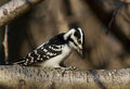 HAIRY WOODPECKER Royalty Free Stock Image