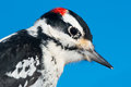 Hairy woodpecker close up of a male Royalty Free Stock Photos