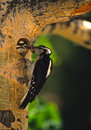 Hairy Woodpecker at nest Cavity Stock Images