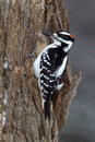 Hairy Woodpecker (Picoides villosus) Royalty Free Stock Images