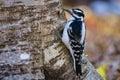 Hairy woodpecker picoides villosus on a tree ottawa canada Stock Photos