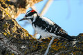 Hairy woodpecker on a tree branch in winter Royalty Free Stock Photography