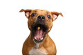 Half-breed Red Dog Catch treats Royalty Free Stock Photo