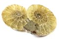 Half cut ammonite Royalty Free Stock Photo