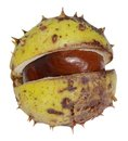 Half opened horse chestnut a fresh in white back Stock Photography